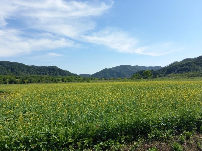 포천 한탄강 생태경관단지, 유채꽃