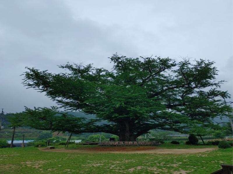 포천 지동산촌마을에 천년동안 마을을 지켜 본 은행나무가 있다.